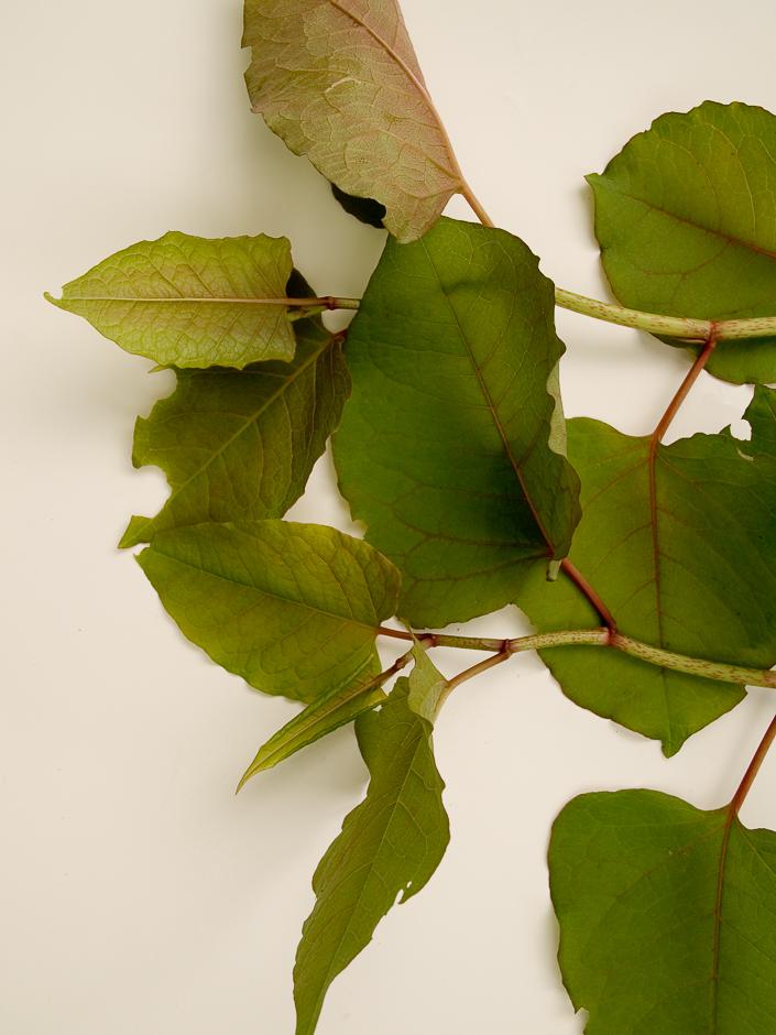 Reynoutria hybride SP  1